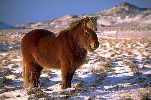 İZLANDA MİDİLLİSİ (PONY)  (Eguus İslandese)