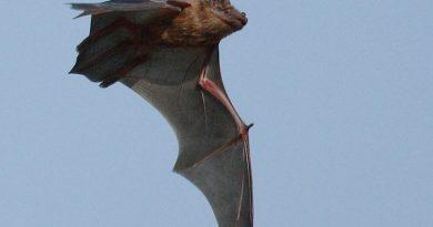 YARASA (Nyctalus noctula)
