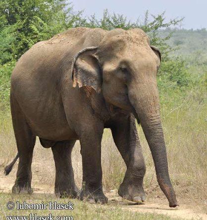 ASYA FİLİ (Elephas maximus)