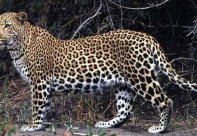 ASYA LEOPARI (Panthera pardus)