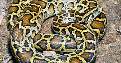 ASYA PİTONU (Python molurus)